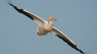 american-white-pelican-flight-mia-mcpherson-9838