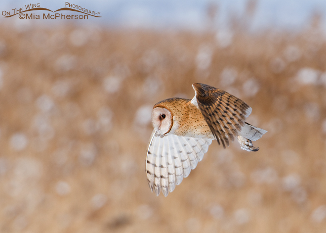 barn-owl-winter-utah-mia-mcpherson-9350