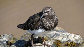 new-black-turnstone