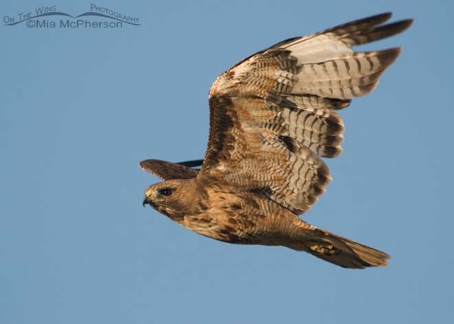 red-tailed-hawk-adult-molt-mia-mcpherson-7031