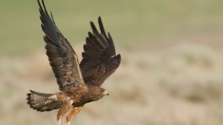 swainsons-hawk-flying-adult-6956