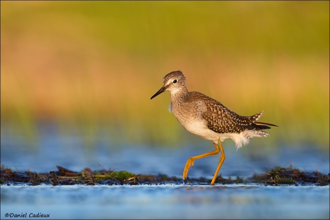 tn_Lesser-Yellowlegs_8362-1