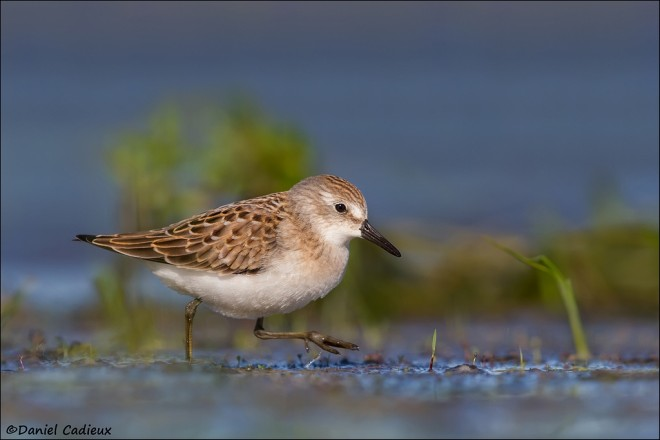 tn_Semipalmated-Sandpiper_9082-1
