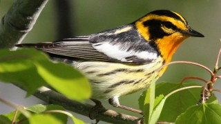 Blackburnian Warbler near Swan Lake, Markham, Ontario, by Alexis Hayes.