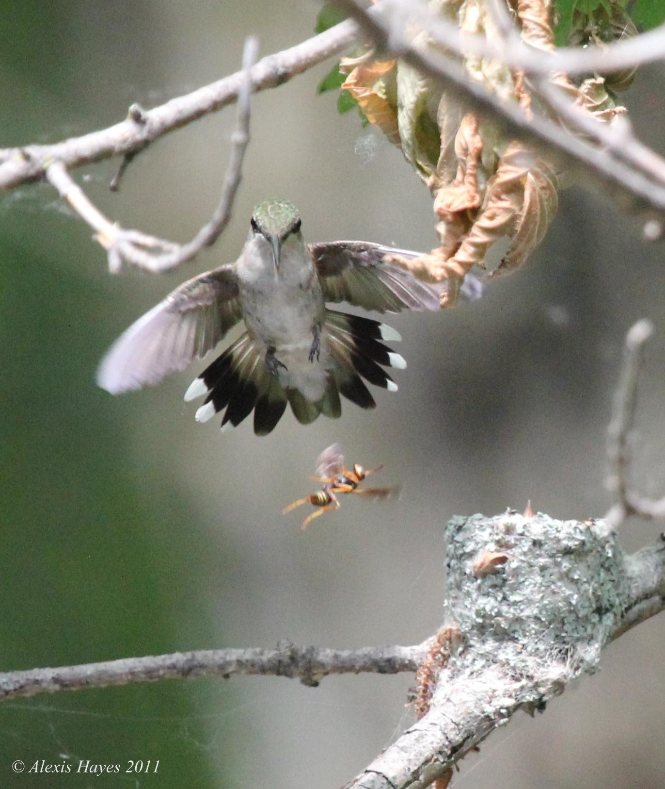 Ruby throated hummingbird baby - photo#27