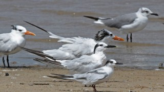 2013-09-11_2378-three-terns