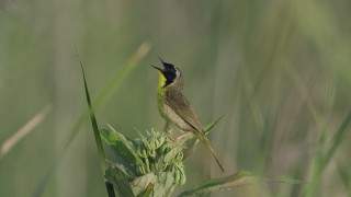 Common-Yellowthroat-NJ-071513