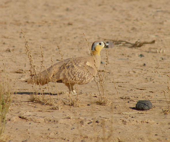 Crowned-Sandgrouse-Pterocles-coronatus
