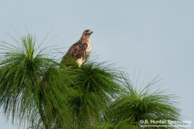 DSC_2040-Red-tailed-Hawk