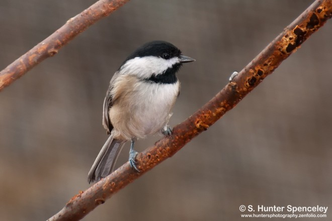 DSC_2071-Carolina-Chickadee