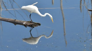 Egret-with-Reflection