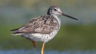 Greater-Yellow-Legs-Virginia-Lake-1
