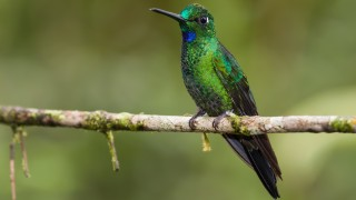 Green-crowned-brilliant-4948