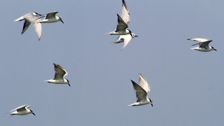Gull-billed Terns in flight at Pulicat Lake Bird Sanctuary, in Andhra Pradesh, India.