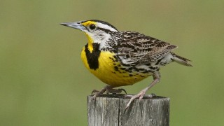 Meadowlark-on-watch