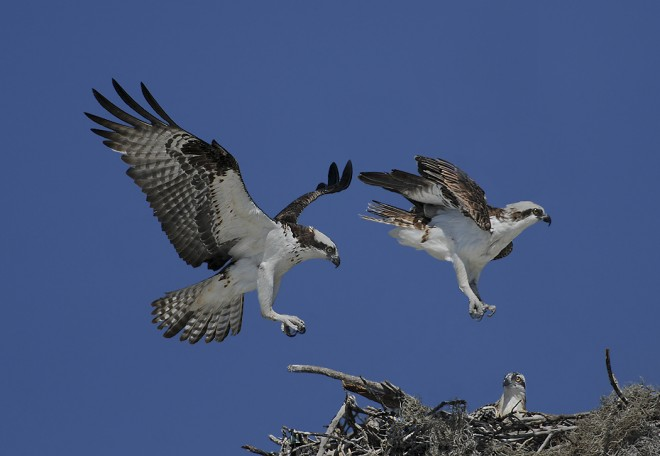 Ospreys-in-flight-chick-SI