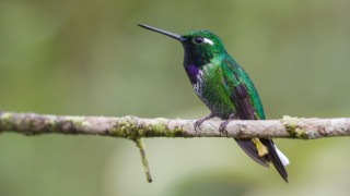 Purple-bibbed-whitetip-4962