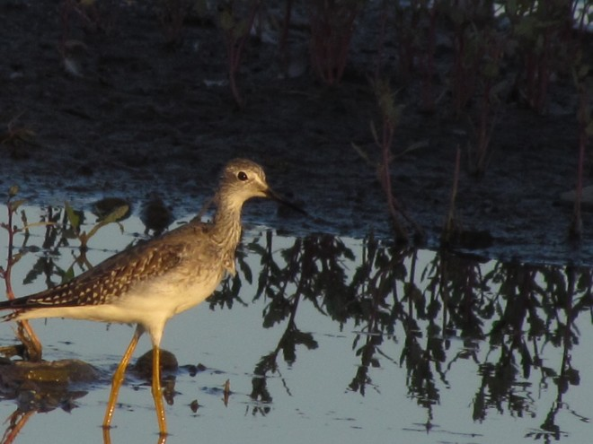 Sun-Yellowlegs
