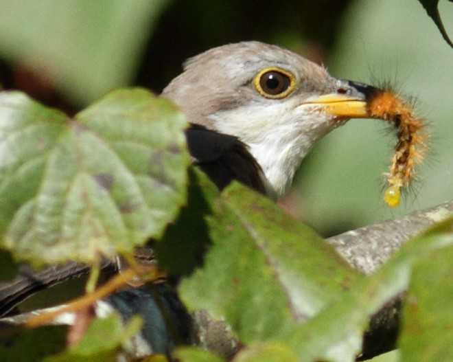 Yellow-billed_Cuckoo_EA106884