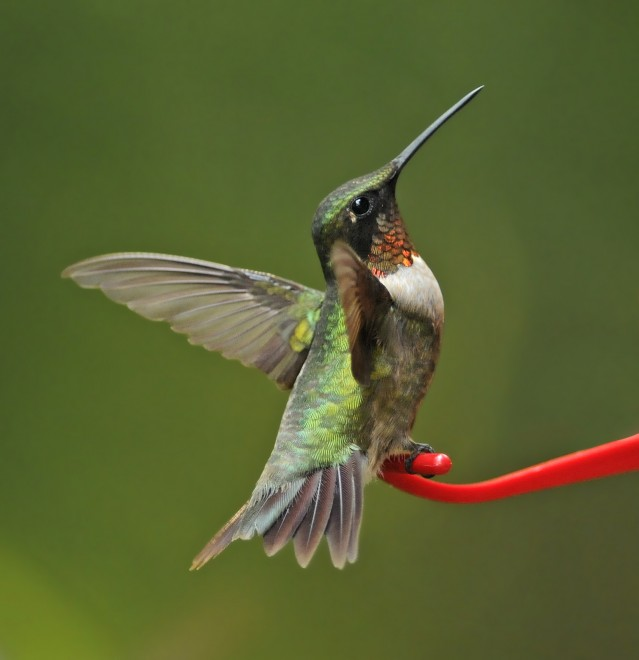 hummer-male-ready-to-fly-1800-flickr-ng