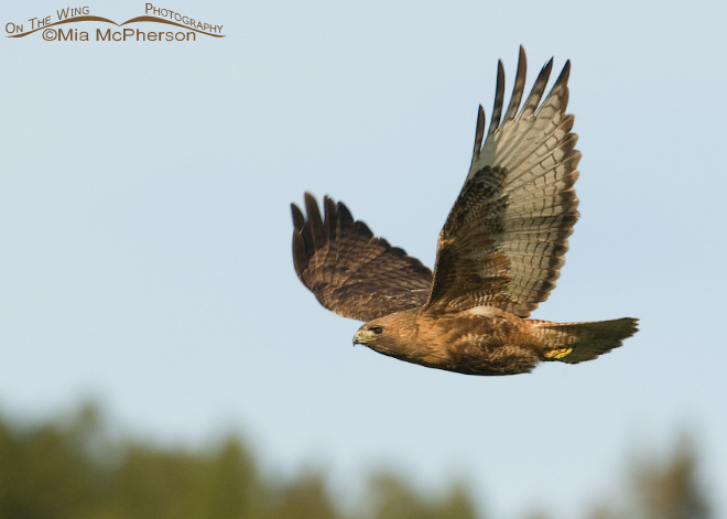 red-tailed-hawk-adult-male-mia-mcpherson-6627