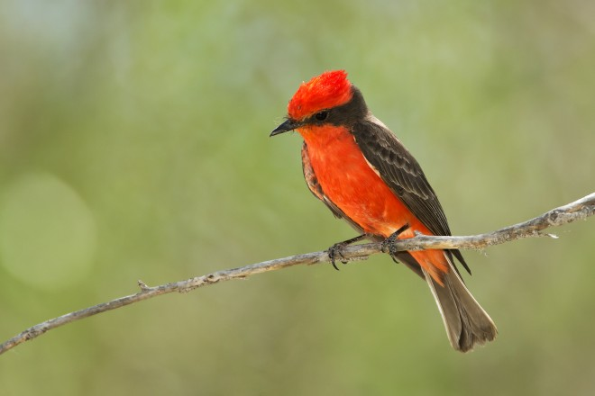 vermillion-flycatcher1321