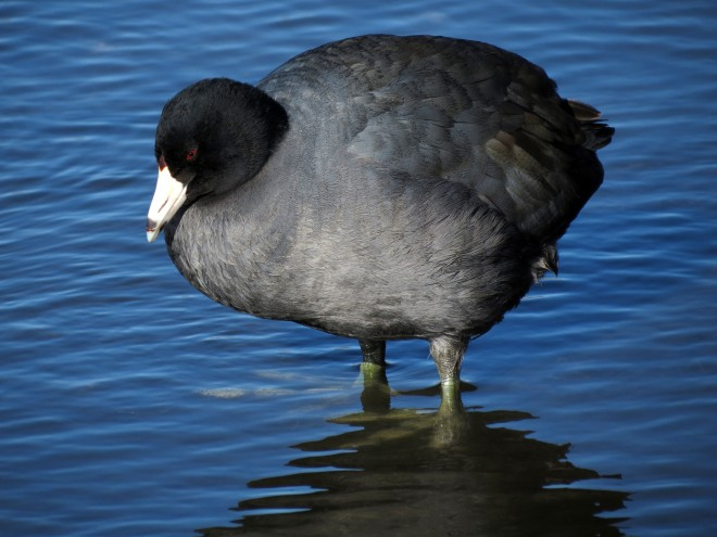 American-Coot