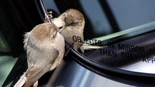 Bushtit (Psaltriparus minimus), Santa Cruz, California, April 27, 2005, 3:04 p.m., by Tony Britton