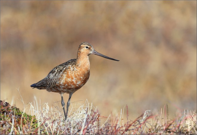 Bar-Tailed-Godwit