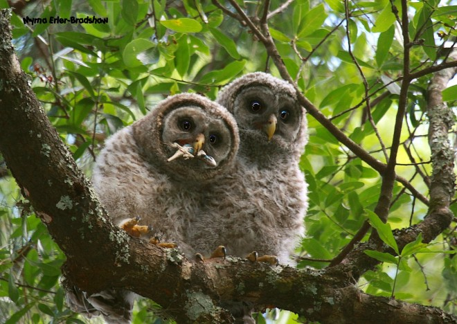 Barred-Owl-Juveniles-with-a-snack