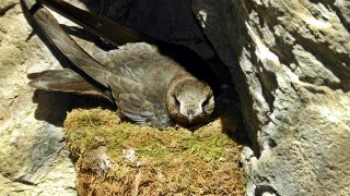 Black-Swift-Box-Canyon