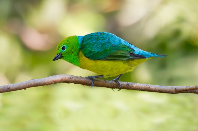 Blue-naped-chlorophonia-0997