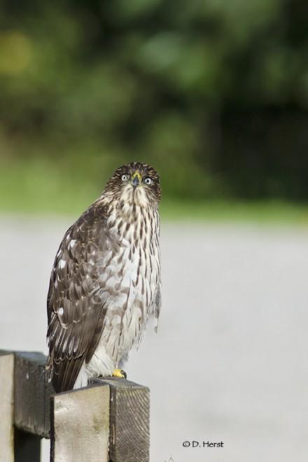 Coopers-Hawk-1