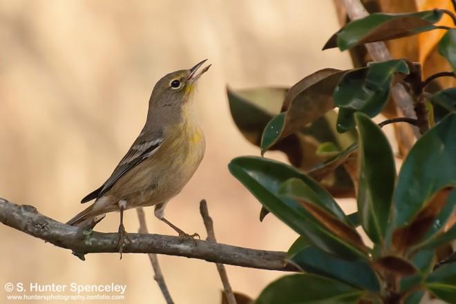 DSC_3838-Pine-Warbler
