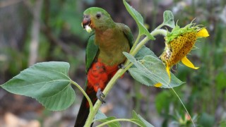 Female-King-Parrot