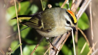 Gold-crowned-Kinglet