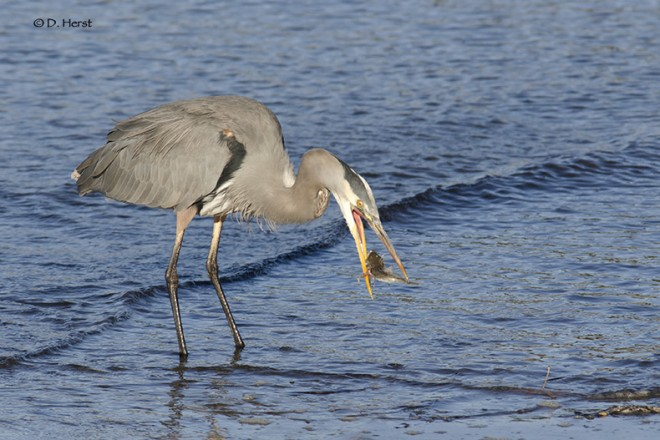 Great-Blue-Heron-breakfast