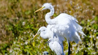 Great-Egrets-Juvenile-Small-Blue-Heron-506