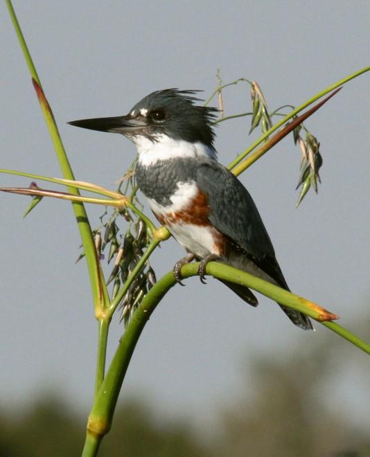 IMG_0779-Kingfisher-on-watch