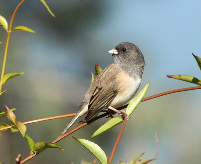 Junco-Dark-eyed-2013-10-17-120
