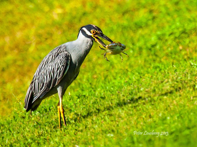 Lousberg_Peter_Yellow_Crown_Night_Heron-2-Edit-Edit-Copy