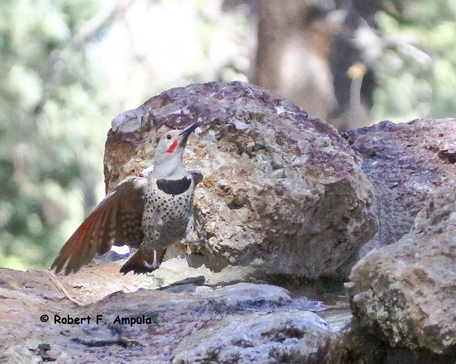Northern-Flicker-taking-flight-295