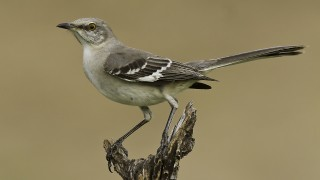 Northern-Mockingbird-1-Edit-jpeg-for-NAT-GEO-MY-SHOT