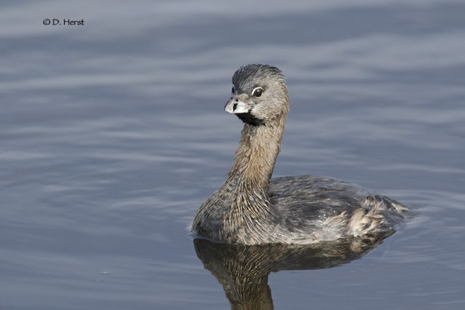 Pied-billed-Grebe-1