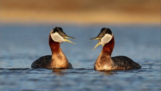 Red-Throated-Loon-Pair