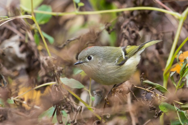 Ruby-crowned-Kinglet-5273