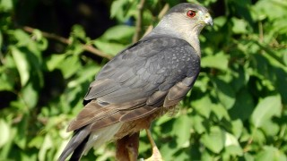 Sharp-Shinned