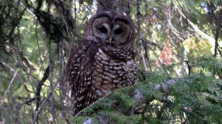 Northern Spotted Owl. Photo by Shane Jeffries/U.S. Forest Service (Creative Commons)