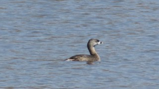 Spring-Pie-billed-Grebe