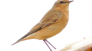 101913 NORTHERN WHEATEAR, U.R.I.